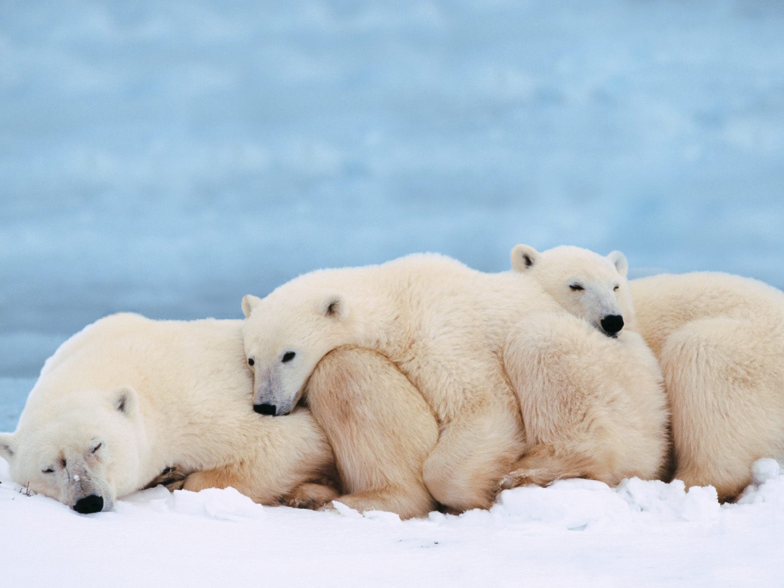 bulkupload_animal-wallpapers_Bears_Polar-Bears-1
