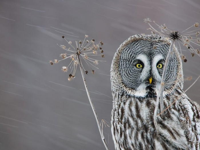 great-grey-snow-finland_85290_990x742-700x524